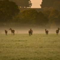 deer_field_tree_animal_grass-54721